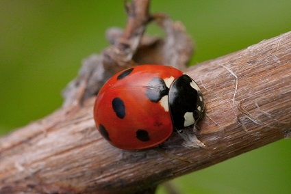 Our most commonly recorded ladybird, the 7-Spot Ladybird.