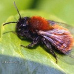 Andrena-fulva-now-extinct-150x150