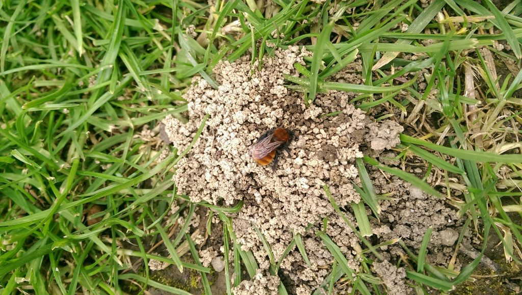 Andrena fulva on top of its nest © Karen Quinn