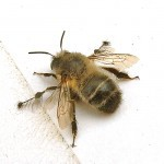 Anthophora_plumipes-150x150