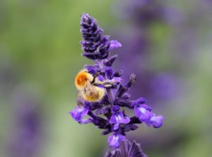 Bee on Lavendar © Andrea McDonagh