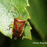Birch Shieldbug Elasmo interstinctus #1