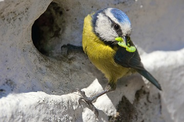 An adult Blue Tit with a crop of caterpillars ready to feed its young.