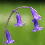 Bluebell (Hyacinthoides non-scripta) L. Lysaght