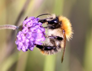 Bombus pascuorum, Colin Stanley, Galway 18/09/2013