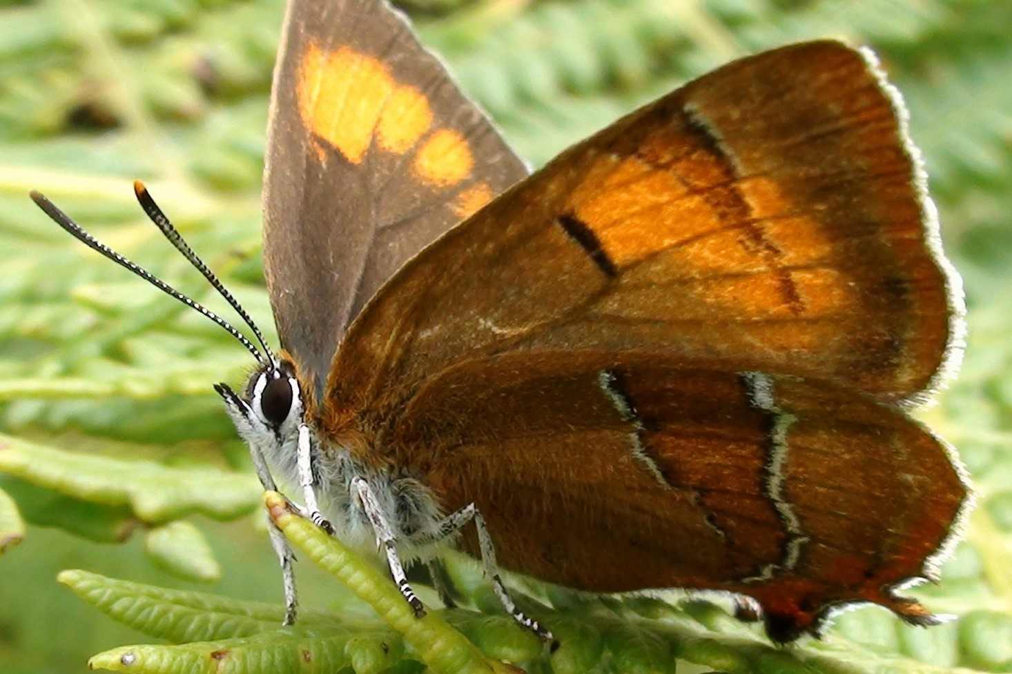 Brown Hairstreak Colin Stanley