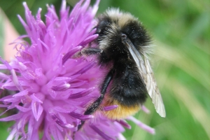 Bruderarius_male_RodneyDaunt_Fountainstown_Cork_31_08_2012