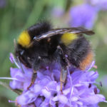 bumblebee-on-wildflower_steven-falk