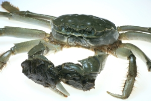 Chinese mitten crab showing hair around claws