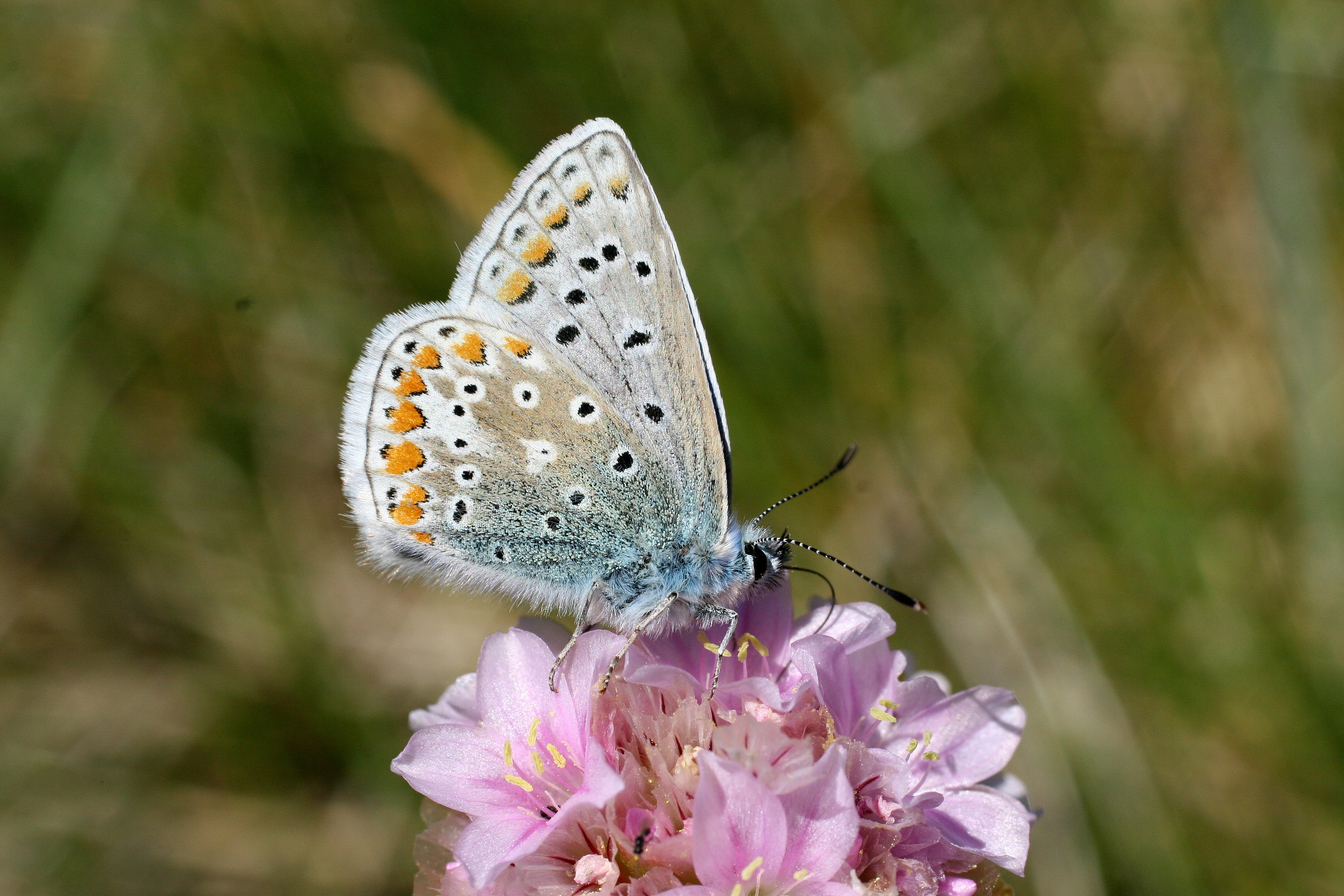 Common Blue Liam Lysaght