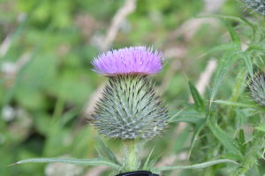 Thistles have distinctive purple flowering heads and prickly leaves.
