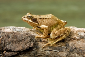 European_Common_Frog_Rana_temporaria_Richard Bartz_2008_wikipedia
