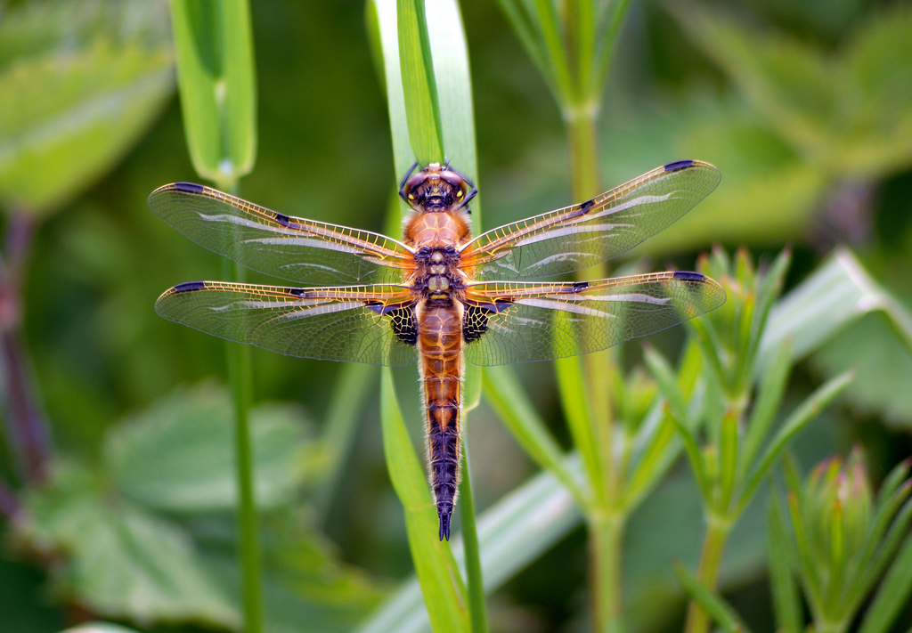 Four-Spotted-Chaser-Dragonfly