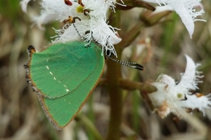 GreenHairstreak_ClareHeardman_LeahilBog_Cork_13_05_2014