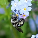 Grey Mining Bee (Andrena cineraria) © Lill Dunne