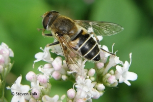 Syrphids Species Accounts
