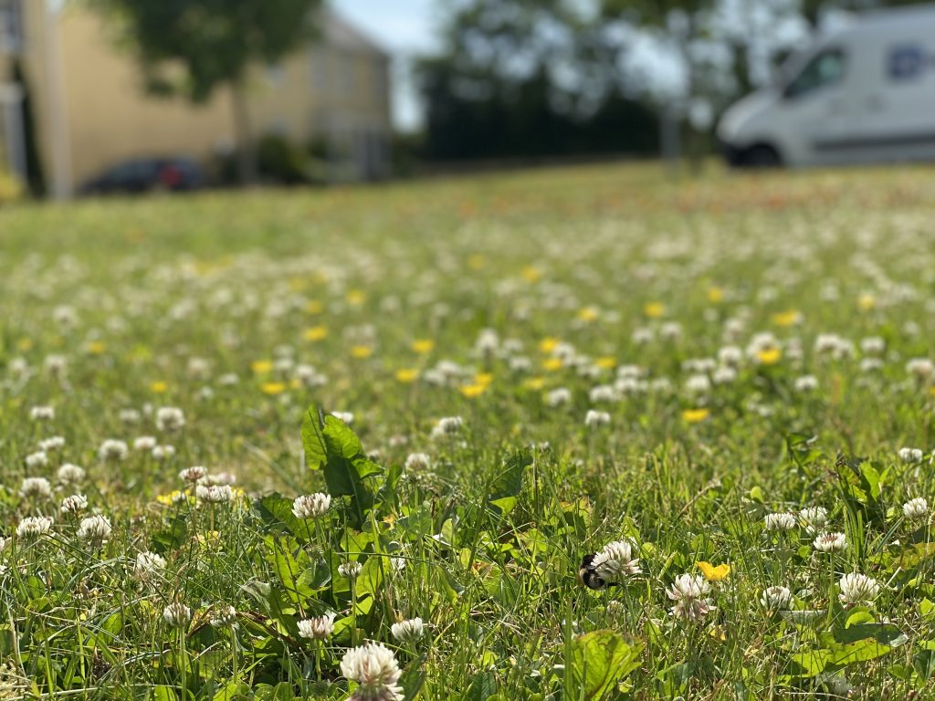 Clover is a great food resource for bees and can be retained by raising the height settings of the lawnmower