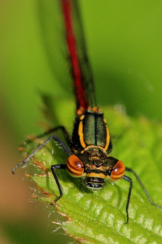 A Large Red Damselfly, the first of the damselflies and dragonflies to emerge each year.