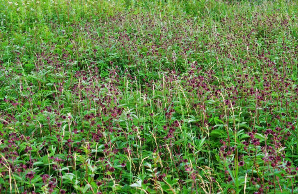 A beautiful display of Marsh Cinquefoil (Comarum palustre) at one of our wet grassland sites we have surveyed as part of the plant monitoring scheme.