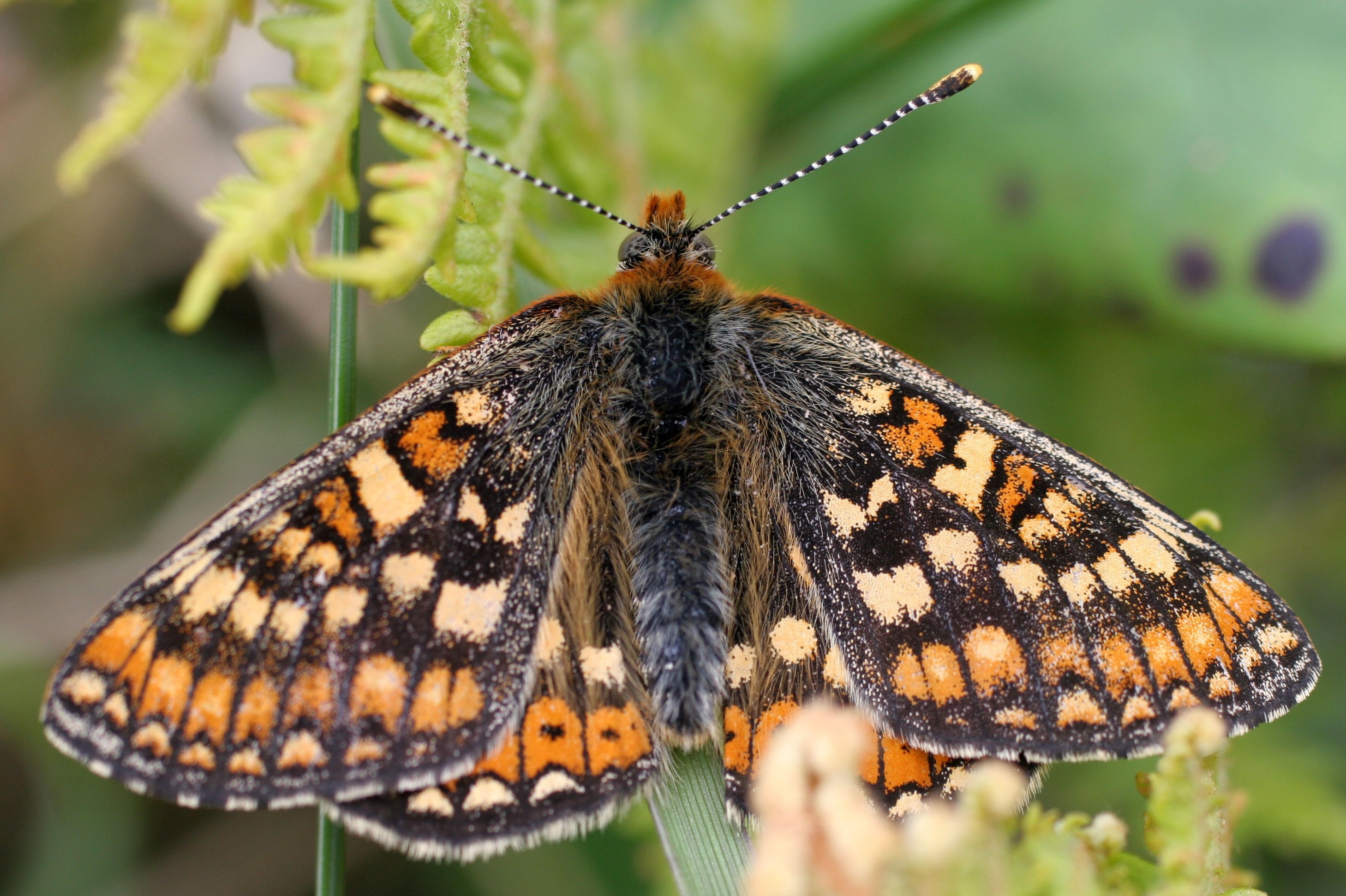 Marsh Fritillary Liam Lysaght