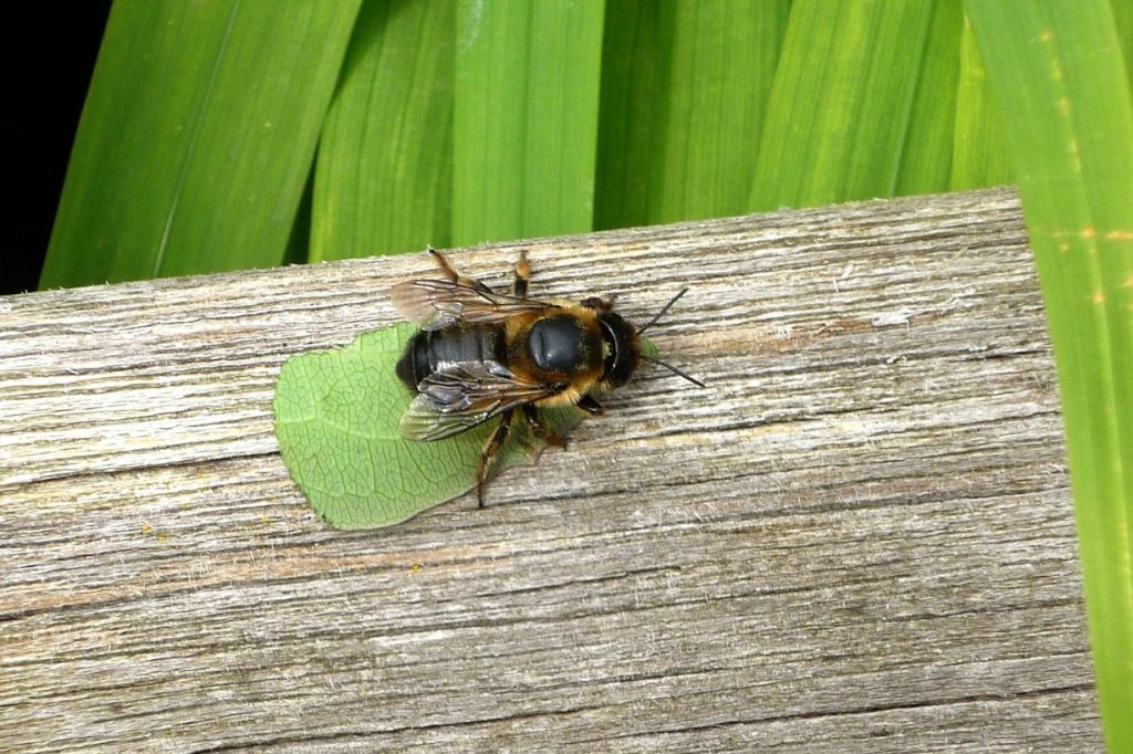 Megachile carrying leaf back to nest © Christina Ní Dheaghaidh