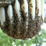 Native-honeybees-nesting-in-a-tree-150x150-150x150