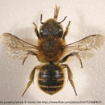 Osmia aurulenta pinned female_Steven Falk