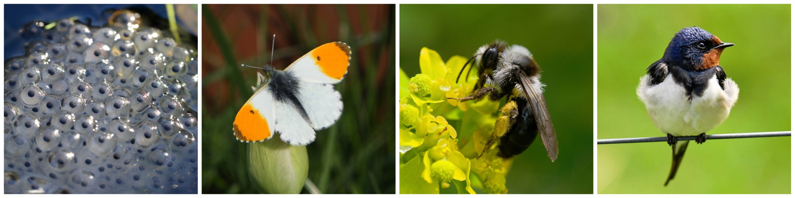 Some of the natural events and species we hope you will keep your eye out for. Source: Pollydot (frog spawn), K. Geary (Orange-tip butterfly), Will George (Grey Mining Bee) and Thomas Landgren (Barn Swallow)