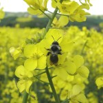Solitary bee_Andrena cineraria on Oil Seed Rape ©Steven Falk