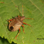 SpikedShieldbug#1