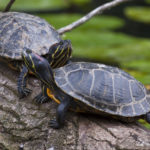Freshwater terrapins