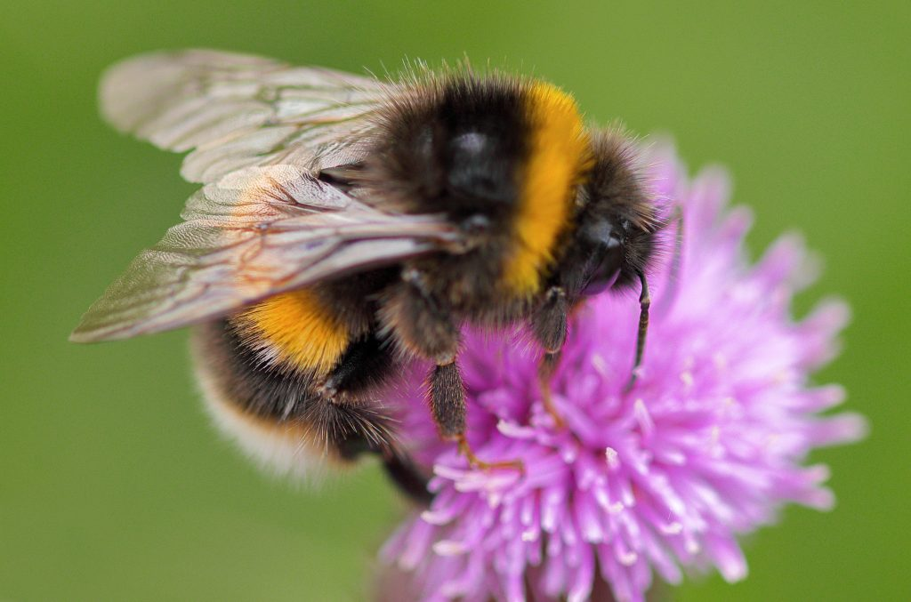White-tailed bumblebee busily foraging on some pollinator friendly Knapweed.