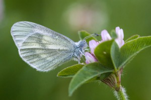 Cryptic Wood White, Padraig Kavanagh, Carlow 05/06/2013