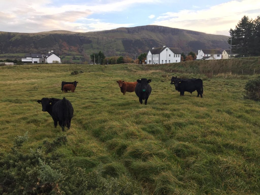 Example of a meadow in Glenariff in the Glens of Antrim being managed using conservation grazing (a local farmer with Dexter cattle grazes it over the winter)