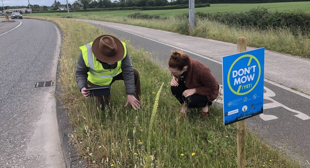 Counting 363 bee orchids on verges in Midleton in East Cork where a managed scheme to support biodiversity has been in operation under the All-Ireland Pollinator Plan for just one year, with direction from Janette Kenny, Executive Engineer, Cork County Council.
